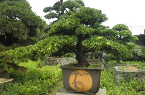 罗汉松是松树的一种,又名罗汉杉,长青罗汉杉,土杉,金钱松,仙柏