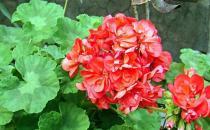 天竺葵的养殖方法-天竺葵的简介