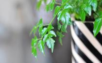 幸福树是什么?幸福树的作用及养护方法