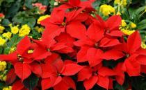 一品红的特征-一品红对家居环境的影响
