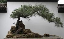 黑松的养殖方法-黑松是怎样的?