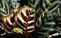 孔雀竹芋的简介-孔雀竹芋的养殖方法