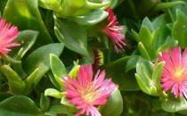玉树花的简介-玉树花的养殖方法