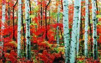 桦木的清洁保养方法-桦木板材的优缺点