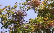 黄连木板材的优缺点-黄连木的清洁保养方法