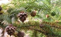 杉木的清洁保养方法-杉木板材的优缺点