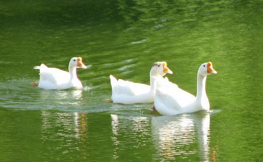 鹅有哪些营养价值 在生活中,鹅是一种在人们居家生活中最常见的一种动物,一般来说,像鸡鸭鹅这三种小动物,都是人们在平时就可能饲养的,而鹅肉中由于含有丰富的蛋白质和钾钙磷等物质,因此,鹅肉的营养价值也是十分连城的。 鹅是鸟纲雁形目鸭科动物的一种。鹅是食草动物,鹅肉是理想的高蛋白、低脂肪、低胆固醇的营养健康食品。 功效作用: 鹅肉性平、味甘;归脾、肺经。具有益气补虚、和胃止渴、止咳化痰,解铅毒等作用。 1、适宜身体虚弱.