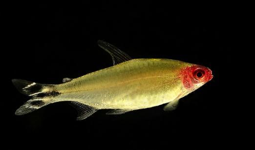 全身近乎透明,尾部有类似剪刀鱼黑白的花纹,喜欢吃在水面上的小昆虫.