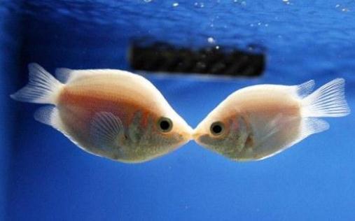 接吻鱼的鱼缸摆放位置-接吻鱼的风水学应用