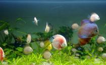 七彩神仙鱼的风水学应用有哪些?