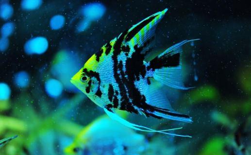 燕鱼-大神仙鱼的简介 大神仙鱼怎么养