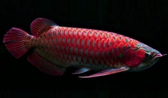 非洲龙鱼的饲养环境