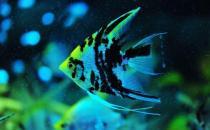 大神仙鱼的简介-大神仙鱼怎么养?