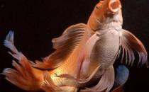 大正三色锦鲤的饲养环境-大正三色锦鲤怎么养?