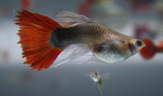 红尾礼服孔雀鱼怎么养?红尾礼服孔雀鱼饲养环