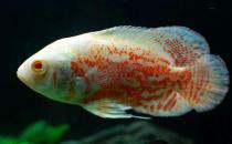 厚子鱼的简介-厚子鱼的生长习性