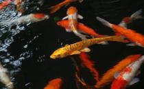 鱼池饲养锦鲤要点-花纹皮光鲤的寿命