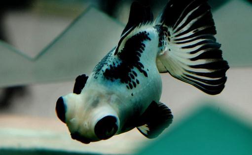 熊猫蝶尾金鱼的特征