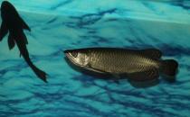 澳洲星点龙鱼怎么养?澳洲星点龙鱼的生存环境