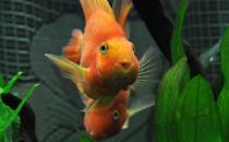血鹦鹉鱼的简介-血鹦鹉鱼的寿命