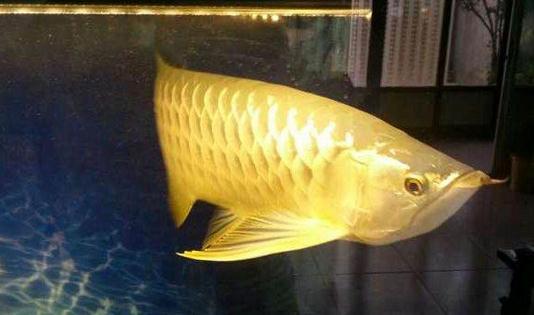 """生焖黄河大鲤鱼:过年吃""""龙鱼""""年年有余"""