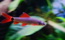 彩虹鲨怎么养?彩虹鲨的饲养环境有什么要求?