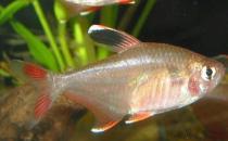 黑裙鱼的简介-黑裙鱼的体型特征