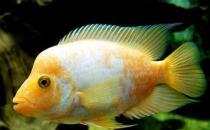 火鹤鱼的简介-火鹤鱼的养殖环境