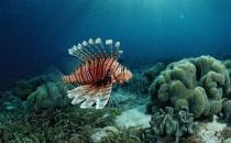 狮子鱼的简介-狮子鱼的品种