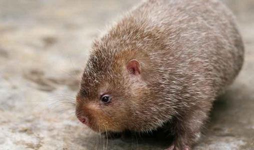 竹鼠是不是保护动物