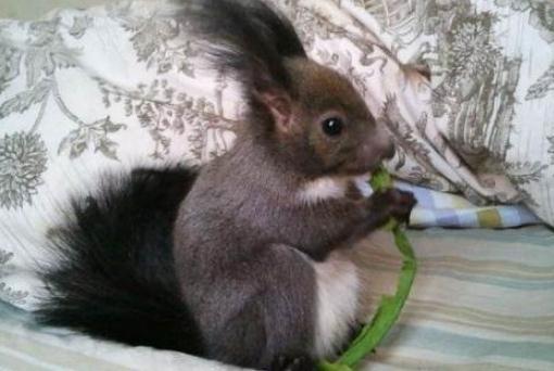 魔王松鼠的简介-魔王松鼠的习性