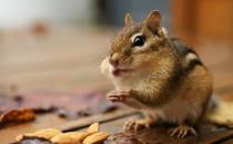 栗鼠的简介-栗鼠的生活习性