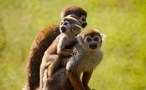 松鼠猴的简介-松鼠猴的品种