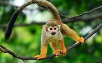 松鼠猴怎么养?松鼠猴的习性
