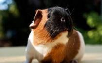 天竺鼠怎么养?天竺鼠的形态特征