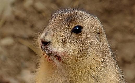 土撥鼠的簡介-土撥鼠的生活習性
