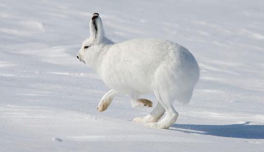 北极野兔的繁殖能力-北极兔的护理 北极野兔的繁殖能力 北极兔生活在天气环境比较恶略的地方,还没有人尝试去饲养这样一种生物,虽然它的皮毛很好、肉质也很鲜美,但是毕竟猎杀也是一件困难的事,所以北极兔的数量并没有因此急剧减少。 在北极,比旅鼠稍大一点的食草动物则是野兔,但其数量比旅鼠少得多了。在美国内地旅行,常可看到成群的野兔在田间奔跑。但在北极草原上漫步,即使开着汽车飞奔,看到野兔的次数也是非常有限的,基至还没有看到狐狸的次数多。 北极野兔的繁殖能力并不强,由于气候和食物所限,它们每年只能产一窝,每窝也只有