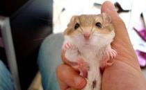 通心粉鼠的价格-通心粉鼠的外貌特征