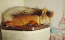 雪地松鼠的品种-雪地松鼠的生活习性