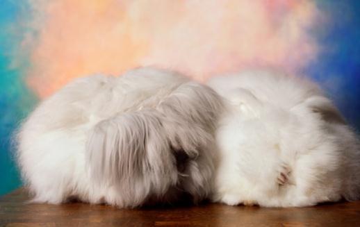 安哥拉兔兔毛价格_法国安哥拉兔怎么养?法国安哥拉兔的价格-360常识网