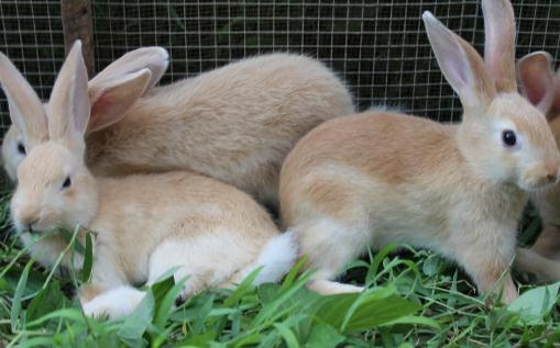 福建黄兔的生存环境-福建黄兔的外观特征-360