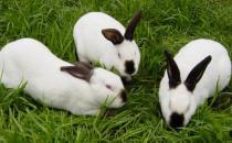 公羊兔怎么养?公羊兔的产地是哪里?