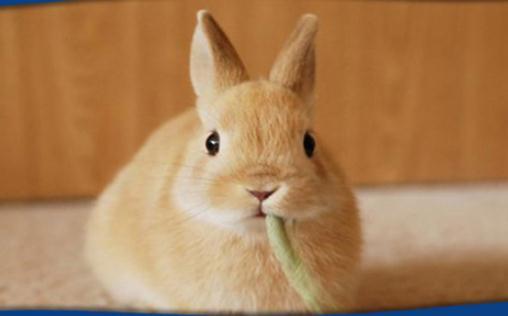 荷兰侏儒兔多少钱能够买到?