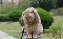 荷兰垂耳兔是什么品种?荷兰垂耳兔的简介