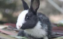 荷兰兔怎么养?荷兰兔的养殖方法