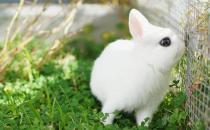 荷兰侏儒兔怎么养?荷兰侏儒兔养殖方法