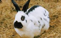加利福尼亚兔的外形特征有哪些?