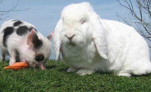 巨型格仔兔的产地-巨型格仔兔产自哪里?-动物百科