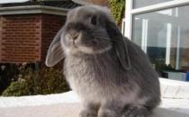 美国费斯垂耳兔的简介-美国费斯垂耳兔是什么品种?