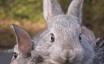 金吉拉兔怎么养?金吉拉兔的养殖方法